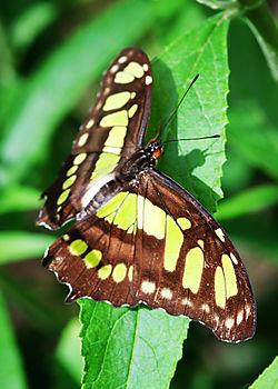 MalachiteButterfly
