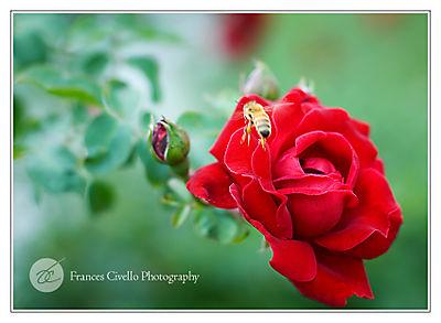 RoseBeeLR