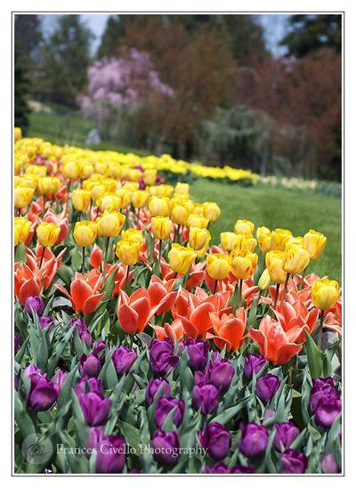 TulipsInBloomLR