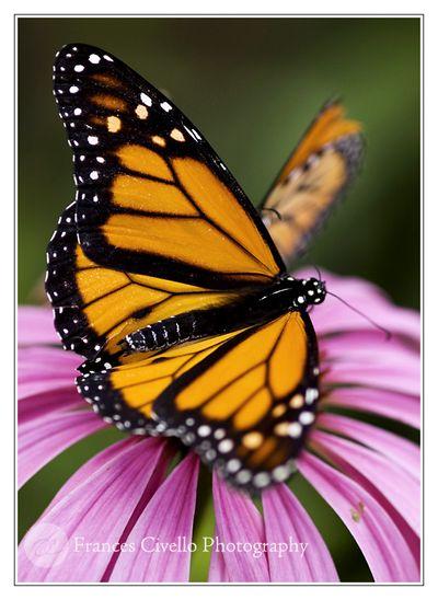 ButterflyEchinaceaLR