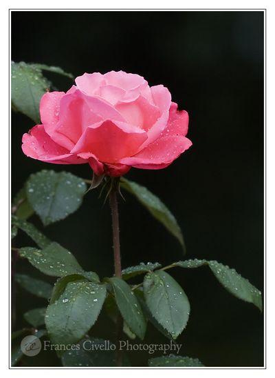 RoseAfterRainCC2lr