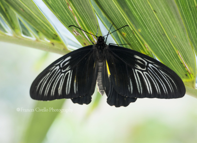 CommonBirdwing