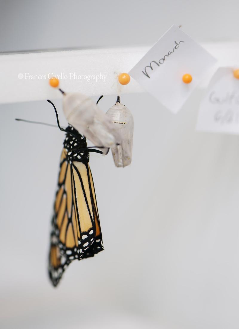 MonarchChrysalisEmerge