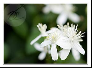 Vineflowers1