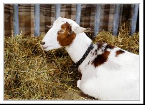 Goatfl