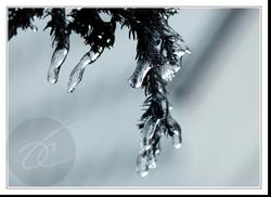 Icyshrub
