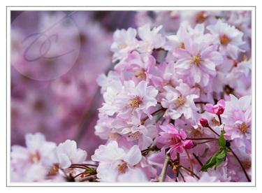 Floweringtree2fl